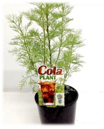 COLA PLANT