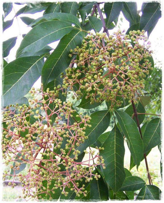 albero del miele
