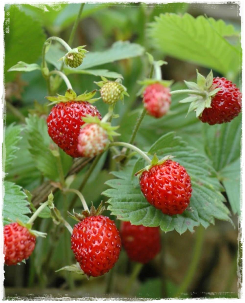 Fragola di bosco 39 tubby red 39 vendita piccoli frutti for Pianta di fragole