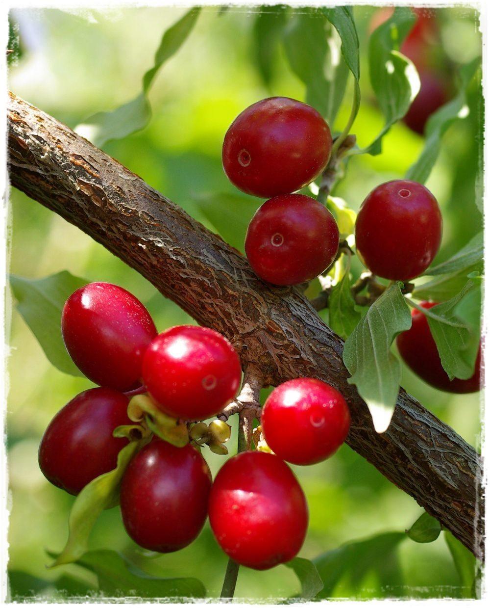corniolo cornus mas vendita piante online frutti della
