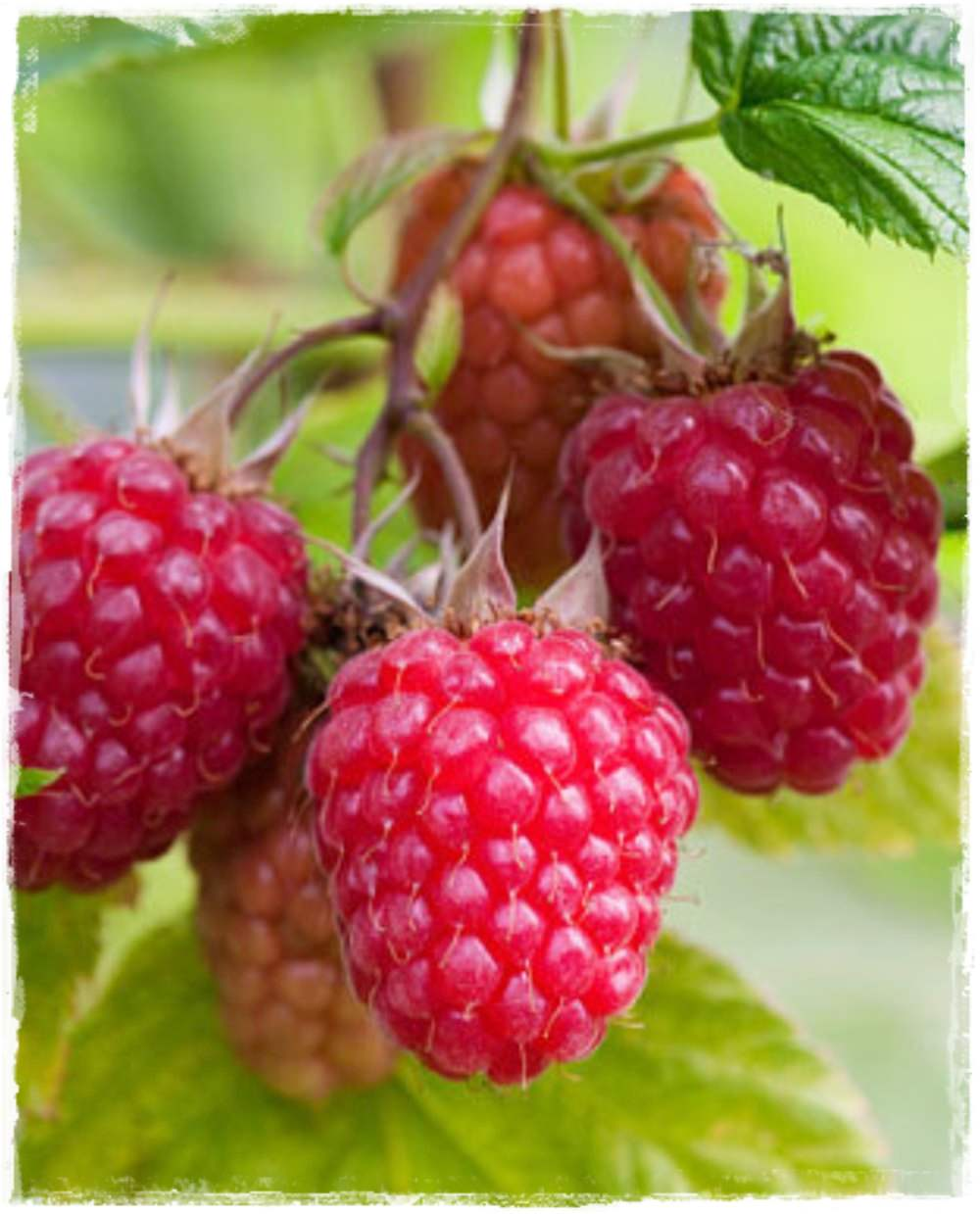 Lampone rosso 39 autumn treasure 39 rubus idaeus vendita for Lamponi in vaso