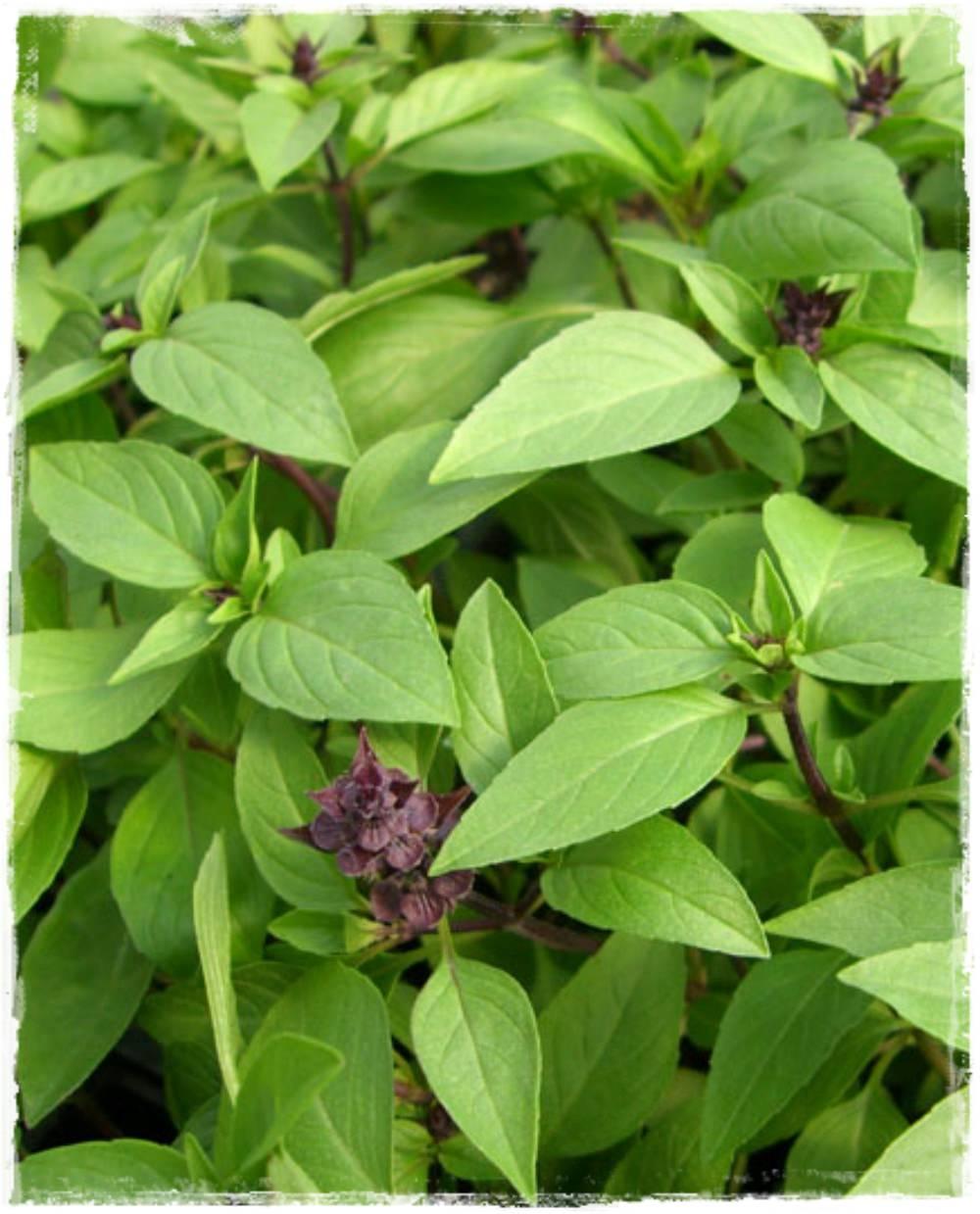Basilico liquirizia ocimum basilicum vendita piante online for Basilico vaso