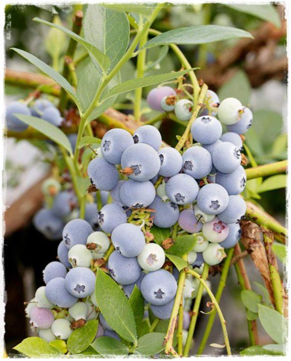 Mirtillo conilopide 39 biloxi 39 vaccinium ashei vendita for Vendita piante mirtillo on line
