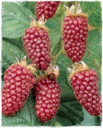 tayberry medana