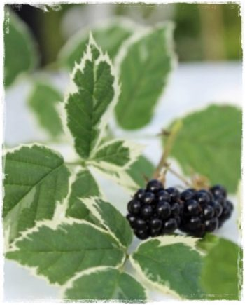 blackberry variegated