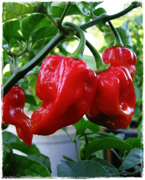 Peperoncino piccante 39 naga morich 39 vendita piante online for Pianta peperoncino