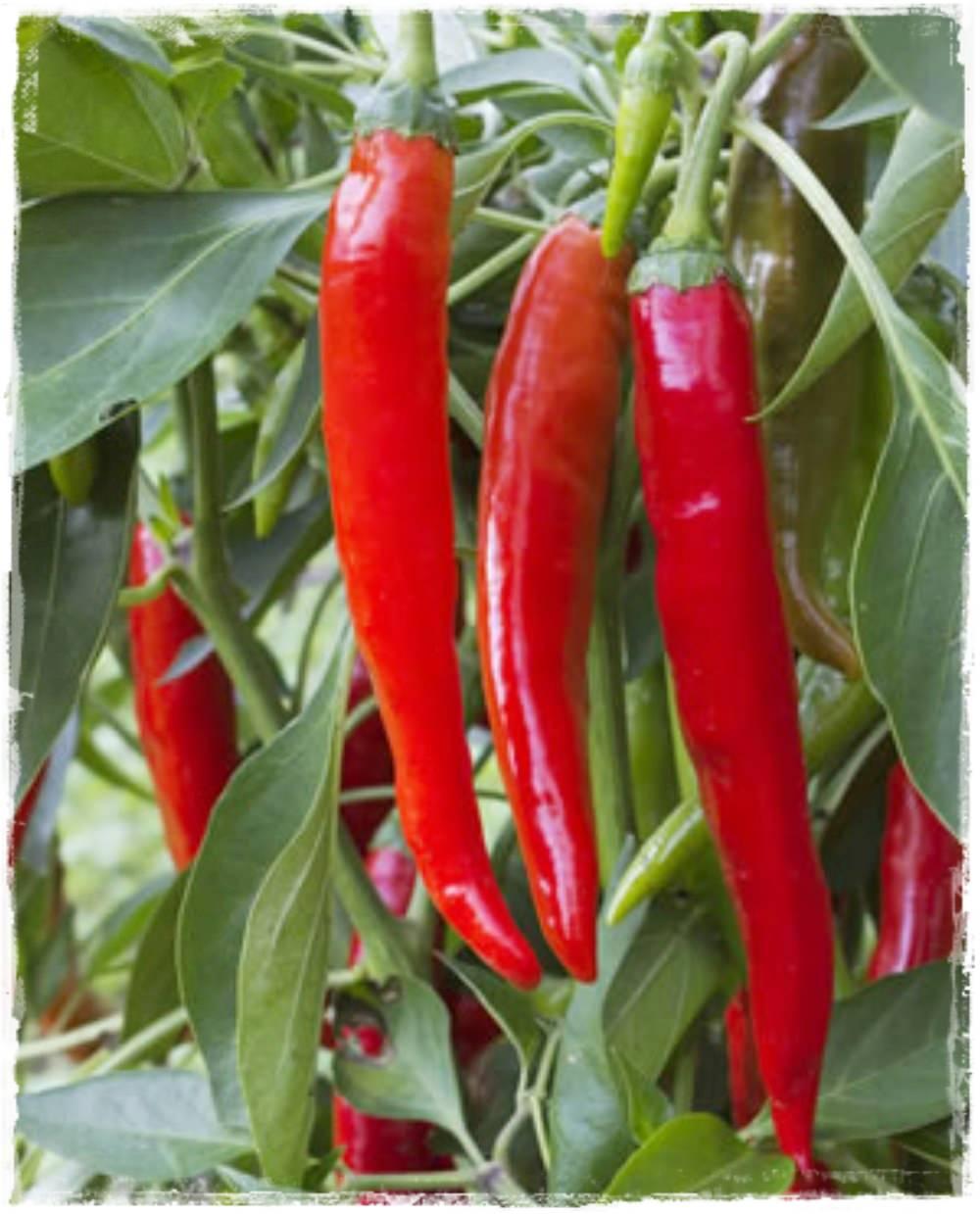 peperoncino piccante 39 cayenna 39 vendita piante online