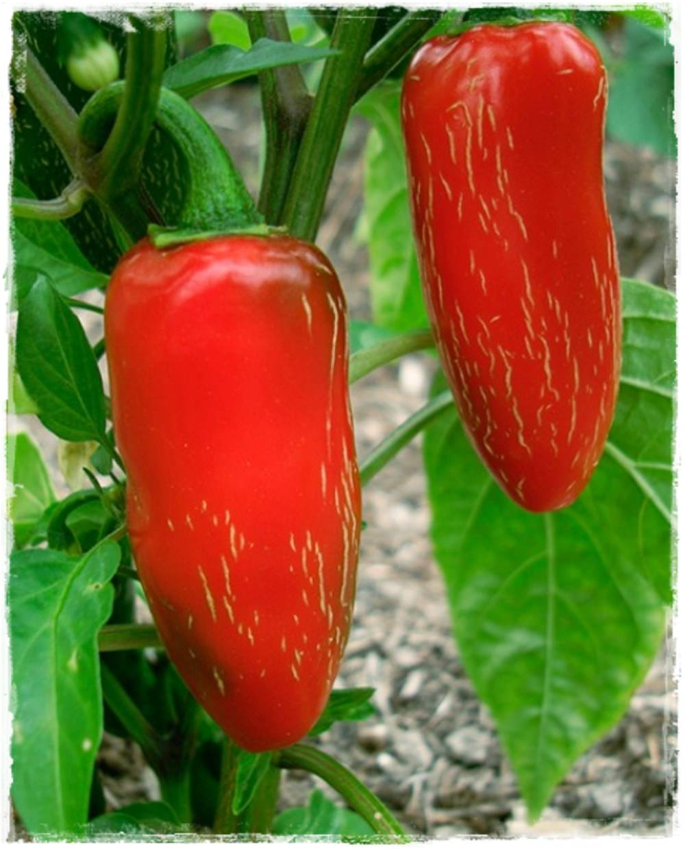 Peperoncino piccante 39 jalapeno 39 vendita piante online for Acquisto piante peperoncino