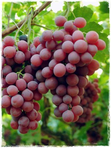 Vite 39 red globe 39 vendita barbatelle online - Red globe uva da tavola ...