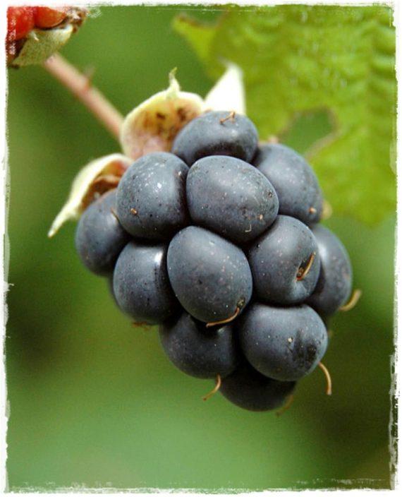 Rubus_caesius_19619_93664