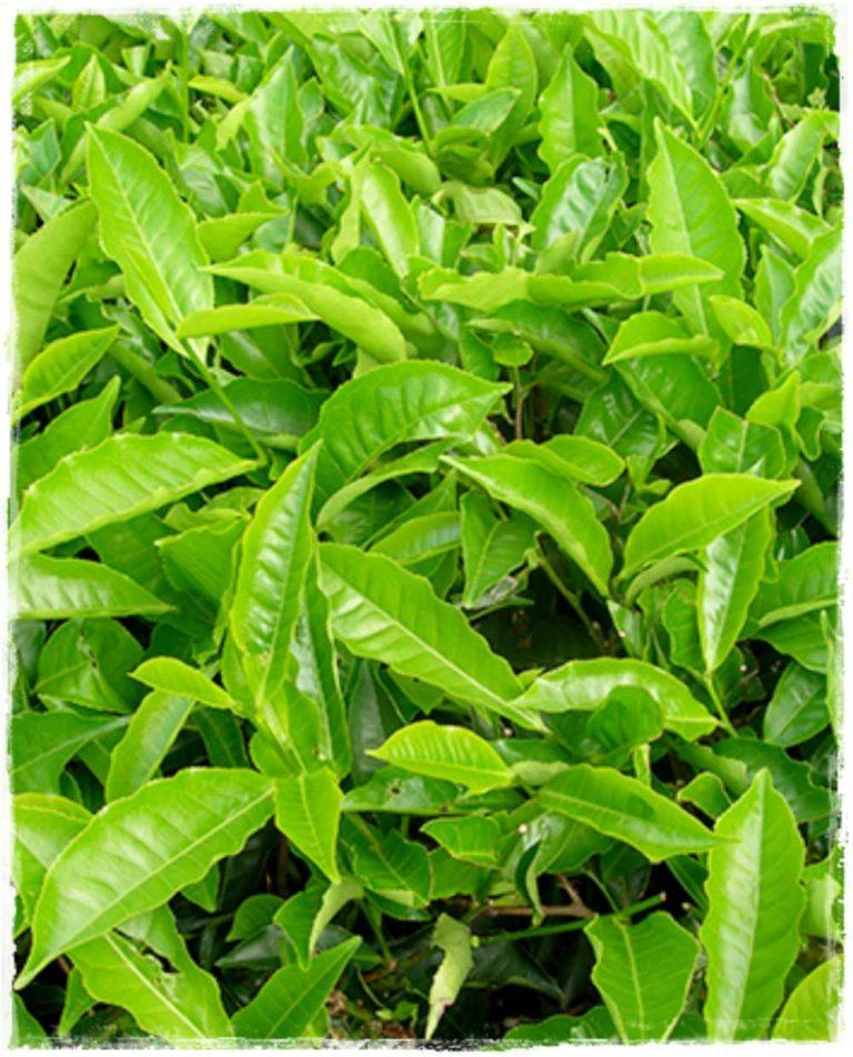 Pianta del te 39 39 camellia sinensis 39 vendita piante online for Pianta camelia