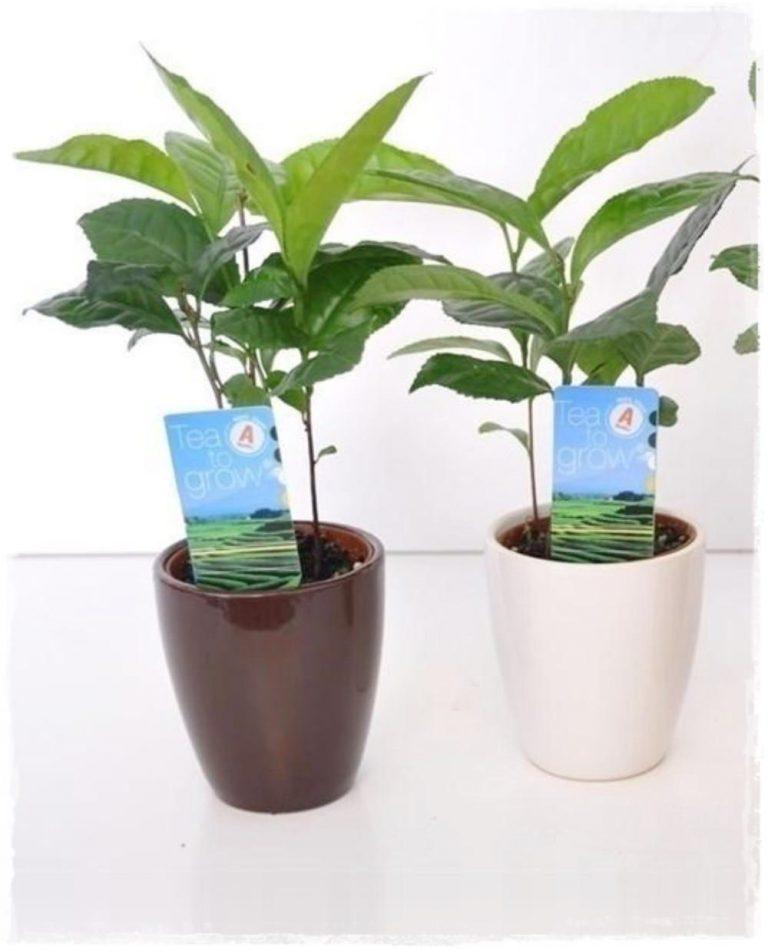 Pianta del te 39 39 camellia sinensis 39 vendita piante online for Camelia pianta