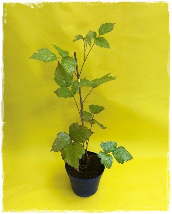dewberry pianta