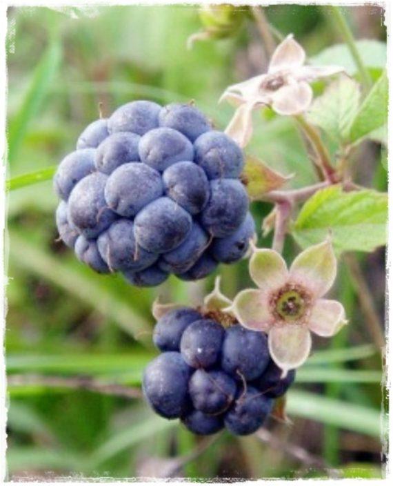 dewberry rubus caesius