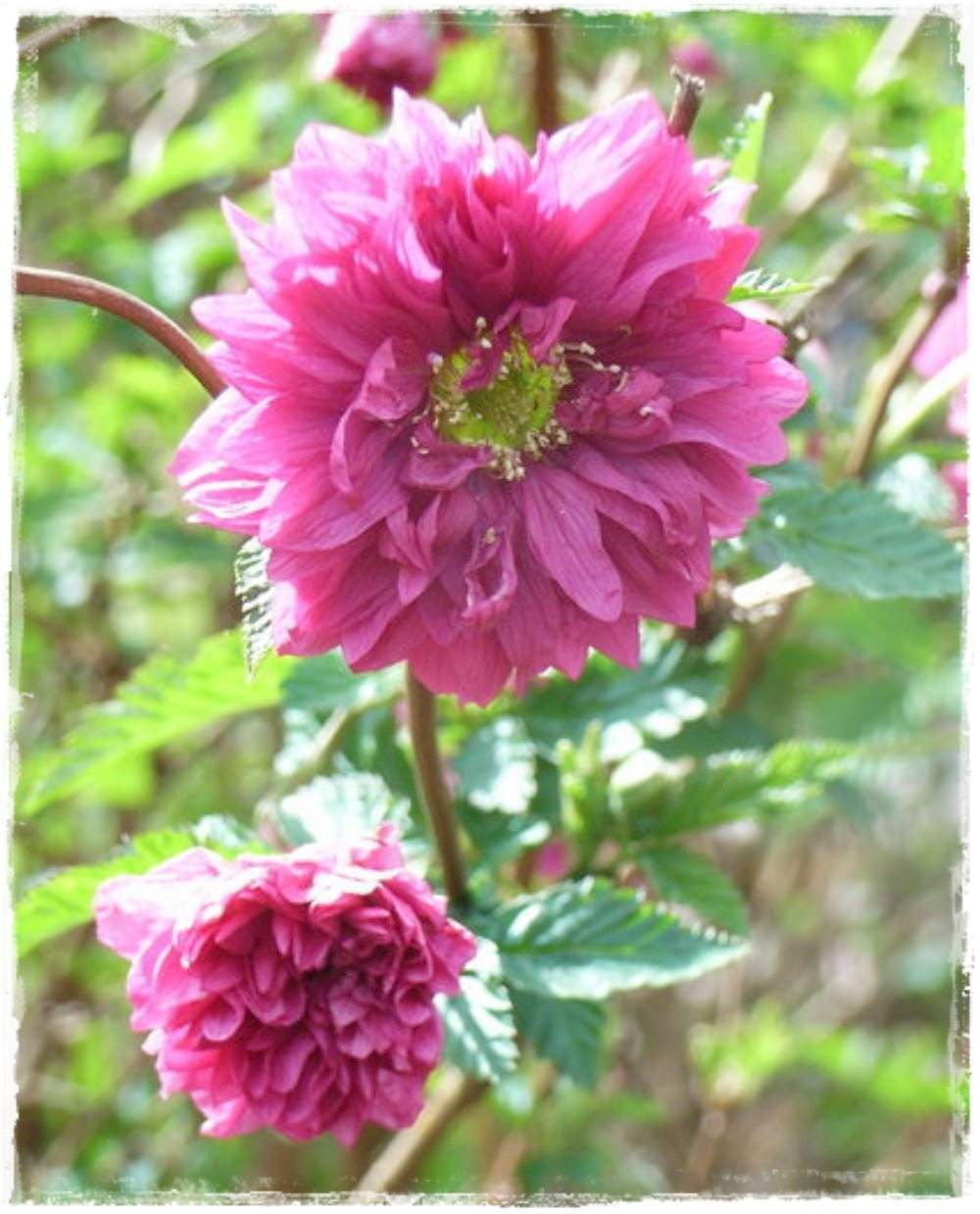 SALMONBERRY Rubus Spectabilis 'Olympic Double' Sale Plants ...