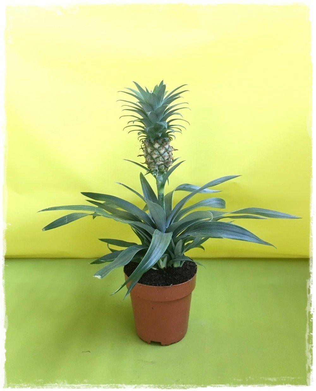 Ananas 39 ananas comosus 39 vendita piante online for Pianta ananas