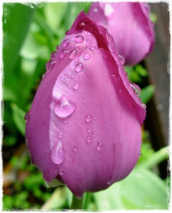 tulipano-negrita