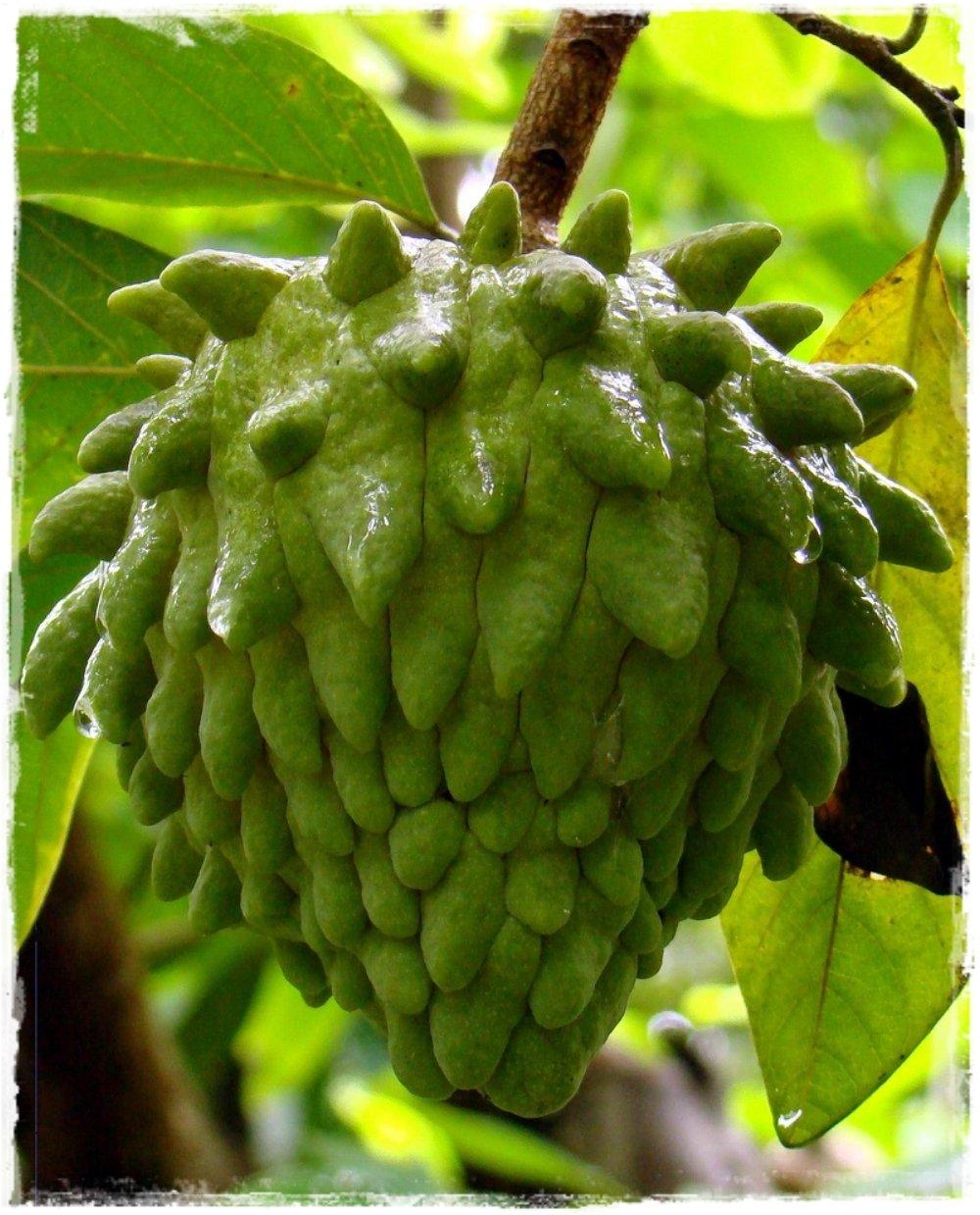 Annona atemoya 39 atemoya 39 vendita piante online for Vendita piante esotiche