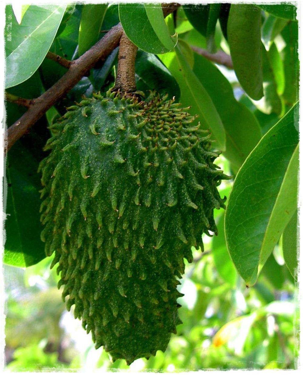Annona muricata 39 guan bana 39 vendita piante online for Vendita piante da frutto tropicali