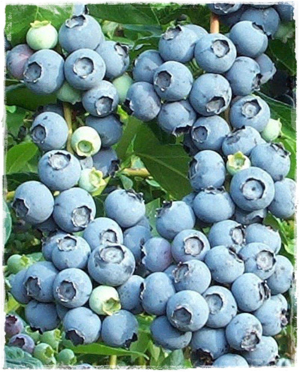 Mirtillo conilopide 39 star 4 39 vaccinium ashei vendita for Vendita piante mirtillo on line