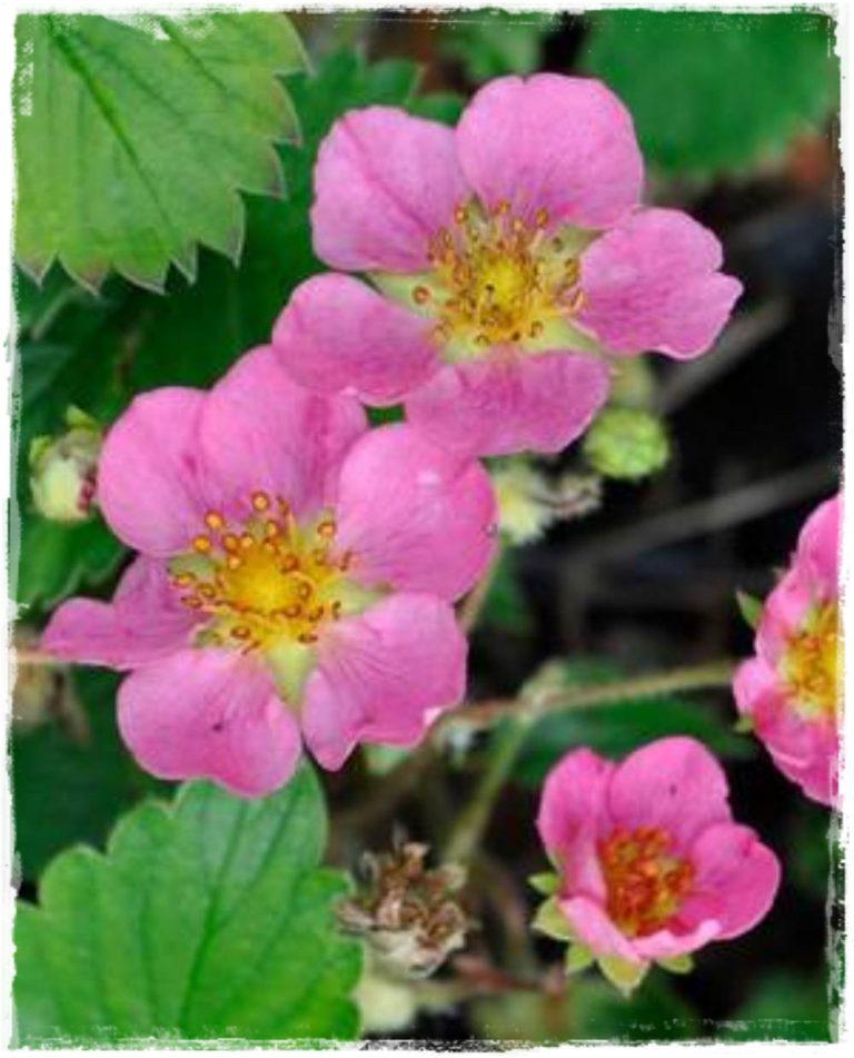 Fragola rifiorente 39 tutu 39 39 fiore rosa vendita piante for Fragole piante vendita