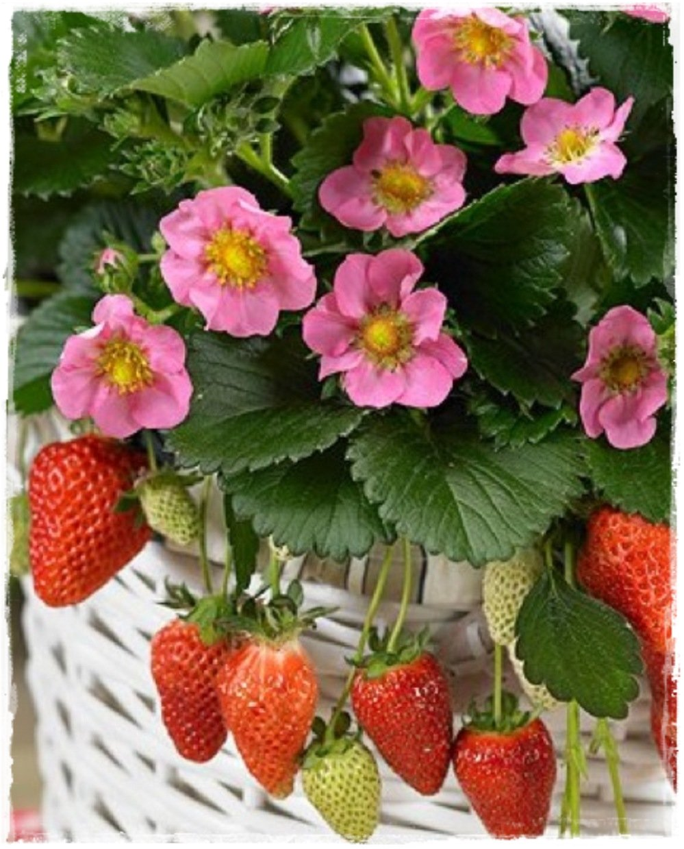 Fragola rifiorente 39 tutu 39 39 fiore rosa vendita piante for Pianta di fragole