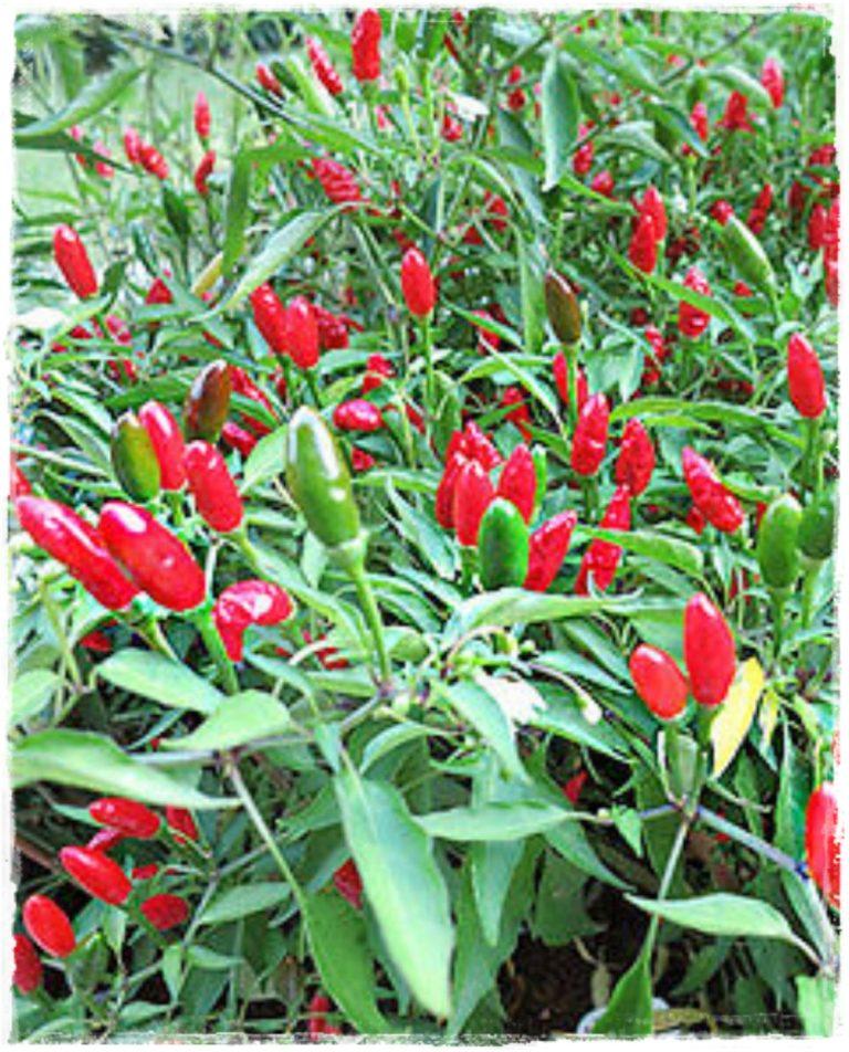 peperoncino piccante 39 diavolicchio 39 vendita piante