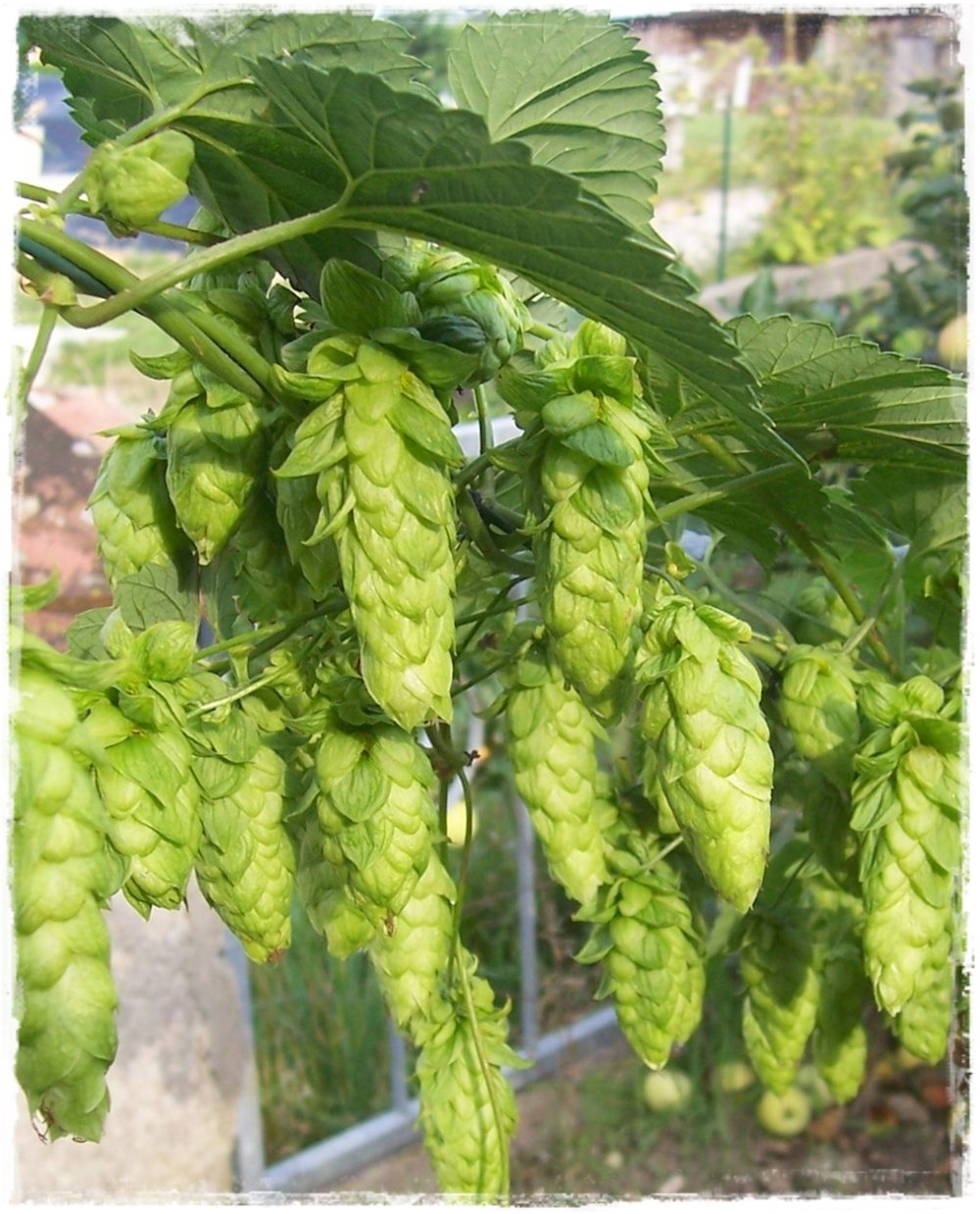 pianta di luppolo humulus lupulus 39 cascade 39 vendita