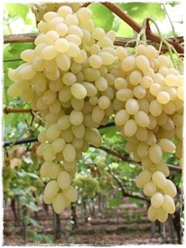 Pianta DI VITE uva vigna da tavola MOSCATO bianca IN VASO 16