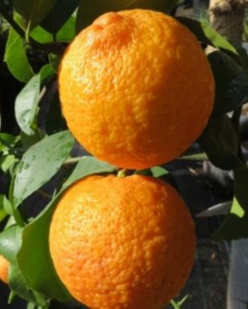 ALBERO d/'arancia Citrus SINENSIS Arancio circa 65-80 cm ARANCIONE dolci