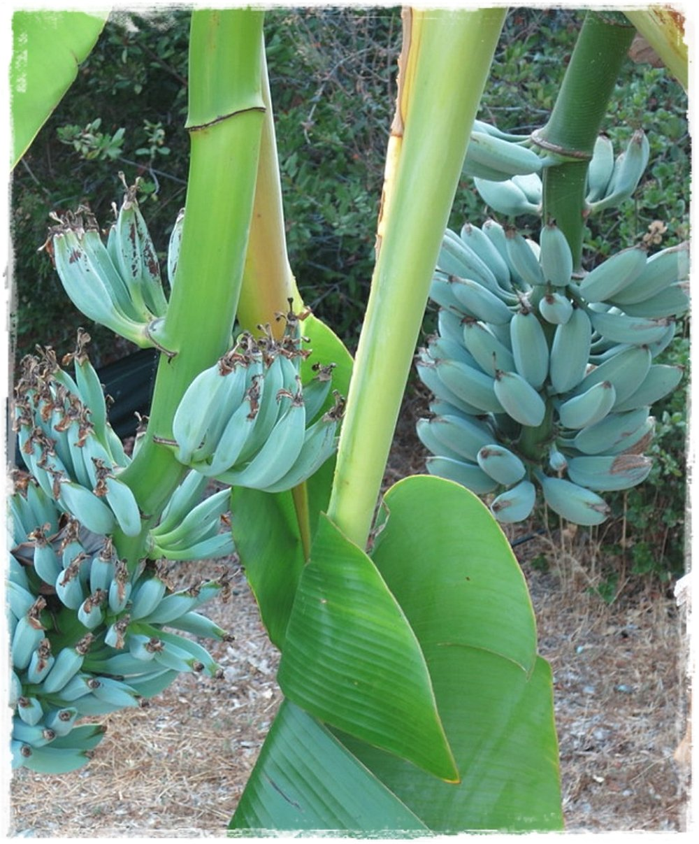 Pianta Di Banana Foto banano blue java 'musa acuminata'
